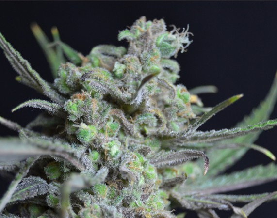 Critical CBD Seeds