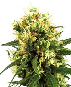 White Haze Automatic de White Label Seeds Company